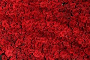 rose-374318_960_720[1]